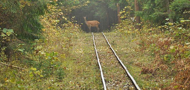 Sarna w Wigierskim Parku Narodowym